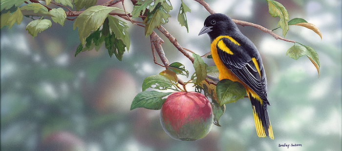 Orchard Orioles - cropped