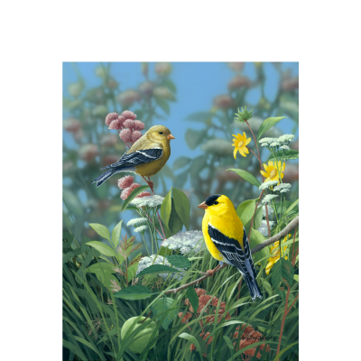 Meadow Gold – American Goldfinch