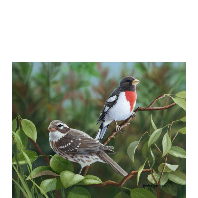New Arrivals – Rose Breasted Grosbeak