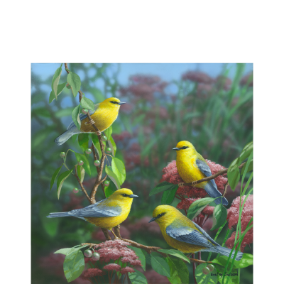Summer Melodies – American Goldfinch